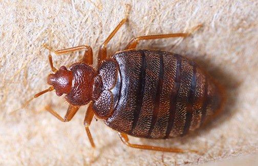 Phoenix Bed Bug Exterminator
